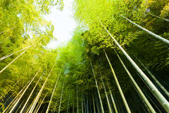 Bamboo close-up in the bamboo forest Royalty Free Stock Photo