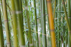 Bamboo close-up with bokeh Royalty Free Stock Images