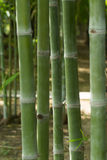 Bamboo. Close up of bamboo in forest Stock Photo
