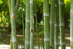 Bamboo. Close up of bamboo in forest Stock Photography