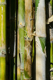 Bamboo. Close up of bamboo trees, Philippines Royalty Free Stock Image