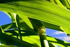 Bamboo Closeup. Very closeup shot of bamboo looking up through the stock to the sky Royalty Free Stock Photos