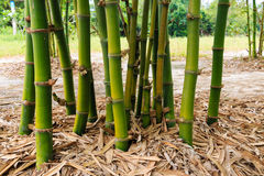 Bamboo clump in garden Stock Image