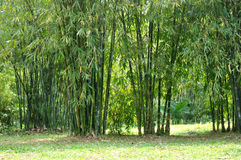 Bamboo cluster. Lives in South China. shown as vital shape and green or environment concept Royalty Free Stock Images