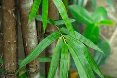 Bamboo cluster amid some lush jungle vegetation and greenery. This zen like Asian forest is a botanical garden full of tropical an Stock Images