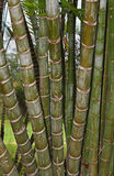 Bamboo Cluster. A cluster of bamboo (Bambuseae) stalks growing in Maui, Hawaii. Bamboo is a renewable resource and has many uses from primitive to modern Royalty Free Stock Images