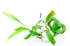 Bamboo and cotton twig plant Stock Photos