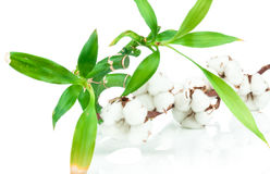 Bamboo and cotton twig plant Stock Photography