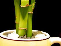 Bamboo In Cup. Bamboo in a cup, with rocks to hold it in....with black background Royalty Free Stock Photo