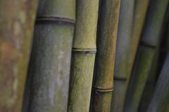 Bamboo. A curving frame of bamboo, filling the frame stock images