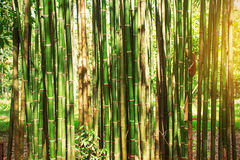 Bamboo in the daytime. Stock Photo