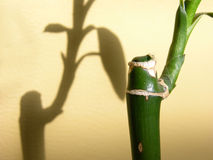 Bamboo Detail. Bamboo And Shadow Royalty Free Stock Images