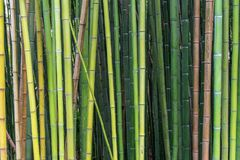 Bamboo in different shades of green and brown. Growing naturally in different angles instead of parallel lines royalty free stock images