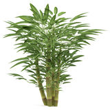 Bamboo exotic bush Stock Image