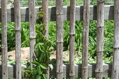 Bamboo Fence. With vine with vertical interest stock image