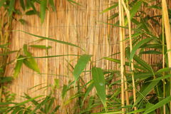 Bamboo fence with fresh bamboo Stock Image