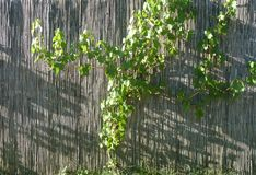 Bamboo fence with grapevine. A bamboo fence with a young grapevine growing on it in the sunshine Royalty Free Stock Photos