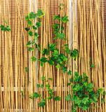 Bamboo fence with ivy Royalty Free Stock Image