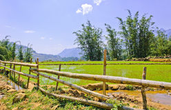 Bamboo fence and rice crops Stock Photography
