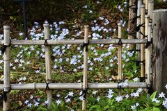 Bamboo fence and Spring Starflowers. In Japanese garden Stock Photos