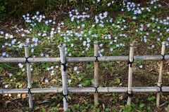 Bamboo fence and Spring Starflowers. In Japanese garden Stock Photography