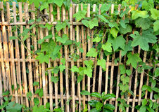 Bamboo fence surrounded by ivy-covered Stock Photography