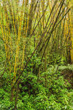 Bamboo and ferns in a tropical forest Royalty Free Stock Photography