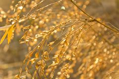 Bamboo flowers. That reflect the sun after rain stock photo