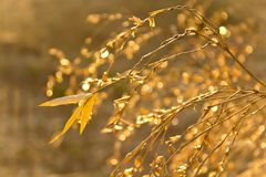 Bamboo flowers. That reflect the sun after rain royalty free stock photography