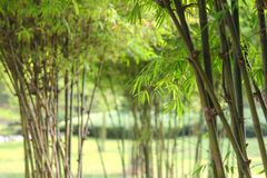 Bamboo foliage Royalty Free Stock Photos