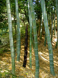Bamboo forest. A bamboo forest from Japan,in the silver temple garden in Kyoto Stock Image