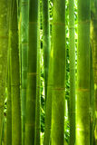 Bamboo forest. Asian Bamboo forest with morning sunlight Royalty Free Stock Photo