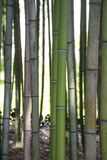 Bamboo Forest stock photos