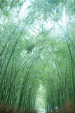 Bamboo forest Royalty Free Stock Photos