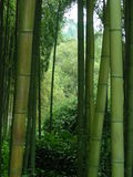 Bamboo forest. Picture of a bamboo forest royalty free stock photos