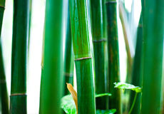 Bamboo forest. Vibrant green bamboo stalks in bamboo forest Royalty Free Stock Photo