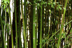 Bamboo forest. Trees of the green bamboo forest Stock Image