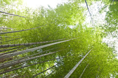Free Bamboo Forest Royalty Free Stock Images - 14618569