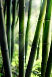 Bamboo forest. Sunlight Shining through Bamboo forest Royalty Free Stock Photo
