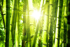Bamboo forest. Asian Bamboo forest with morning sunlight Stock Photography