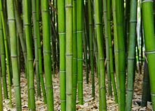 Bamboo forest. Green bamboo forest. Zen. Feng-shui Stock Photos