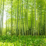 Bamboo forest. Summer bumboo forest for background Royalty Free Stock Photo