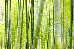 Bamboo forest. Close up bumboo forest for background Stock Images