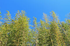 Bamboo forest. And blue sky Stock Photo