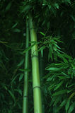 Bamboo forest. Green bamboo forest, suitable for background Royalty Free Stock Images
