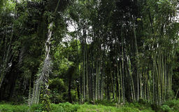 Bamboo forest. Green intricate bamboo forest in sulwesi, Indonesia Royalty Free Stock Photo