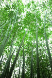 Bamboo forest. The bamboo of a forest outdoor Stock Images