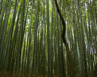 Bamboo forest. Twisted tree trunk in bamboo forest Royalty Free Stock Image