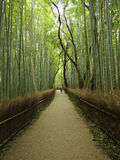 Bamboo Forest. Path through a bamboo forest with twisting, weaving tree trunks interspersed down the centre Stock Image