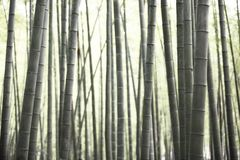 Bamboo forest. Abstract bamboo forest for use as background Stock Image